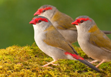 Red-browed Finches